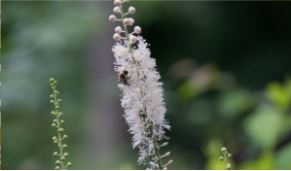 Menopause treatment - black Cohosh