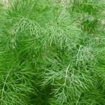 Dill - natural treatment