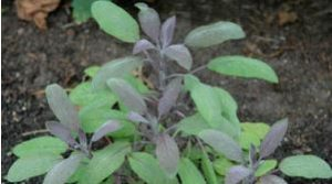 sage - menopause treatment