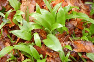 Natural treatment - Wild Garlic