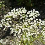 Aniseed -nautral treatment