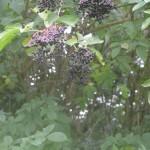 Elderberry Cordial. - ~Roscore Clinic