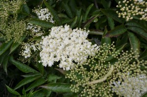 Roscore Elderberry Cordial